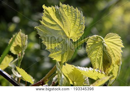 Young Grape Leaves In Spring