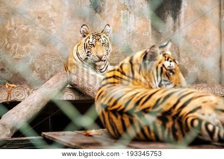 Young Tigers In Cage