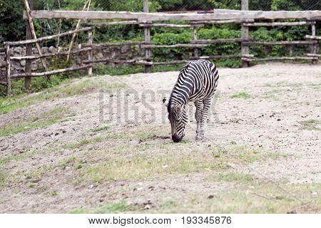Zebra Walking In An Enclosed Space