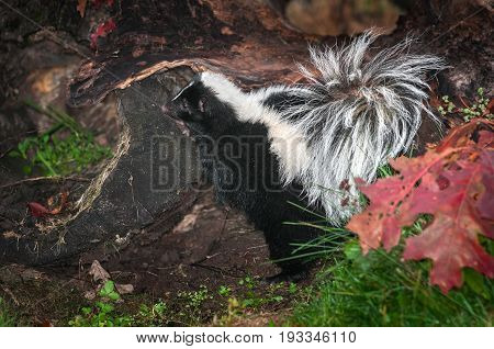 Striped Skunk (Mephitis mephitis) Leans on Log - captive animal