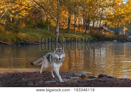 Grey Wolf (Canis lupus) Runs on Shore