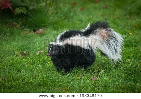 Striped Skunk (Mephitis mephitis) Stands Looking Left in Grass - captive animal