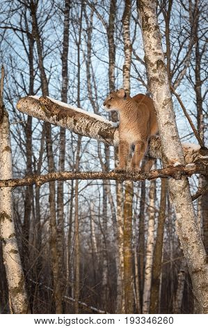 Adult Female Cougar (Puma concolor) Camouflaged in Birch Trees - captive animal