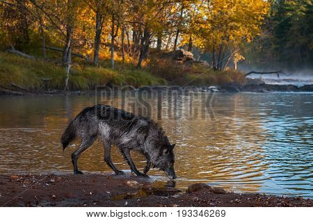 Black Phase Grey Wolf (Canis lupus) Sniffs Along Riverbank - captive animal