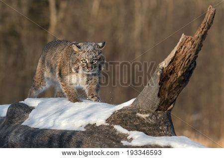Bobcat (Lynx rufus) One Step - captive animal