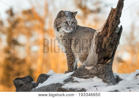 Bobcat (Lynx rufus) Sits Looking Right - captive animal