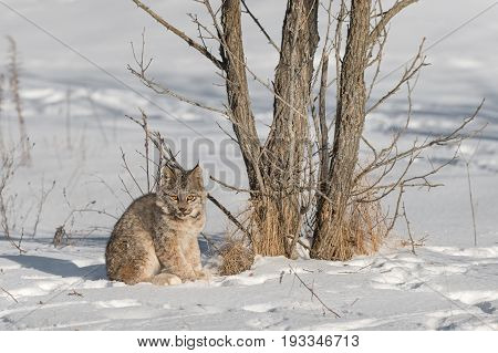 Canadian Lynx (Lynx canadensis) Sits by Tree - captive animal