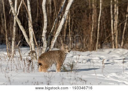 Canadian Lynx (Lynx canadensis) Stands Looking Right - captive animal