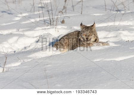Canadian Lynx (Lynx canadensis) Lies in the Snow - captive animal