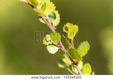 Leaves of a dwarf birch (Betula nana)