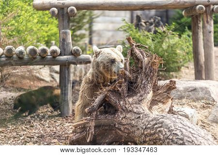 Male Brown Grizzly Bear Hiding Behind A Big Tree Root Out Of The Earth With A Wolverine On The Backg