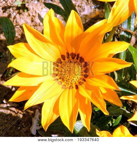 Beautiful Gold Gazania flower in Tel Aviv Israel