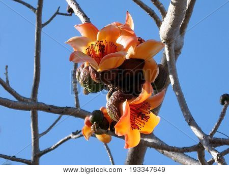 Orange flowers of Bombax ceiba tree in Begin Park in Tel Aviv Israel