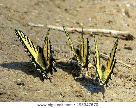 Three Eastern Tiger Swallowtail Butterflies on the banks of the Potomac River near Washington DC 20 April 2016 USA