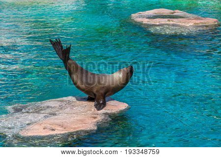 Sea Lion Standing Its Tail On A Big Sea Rock With Blue Water Surrounding It