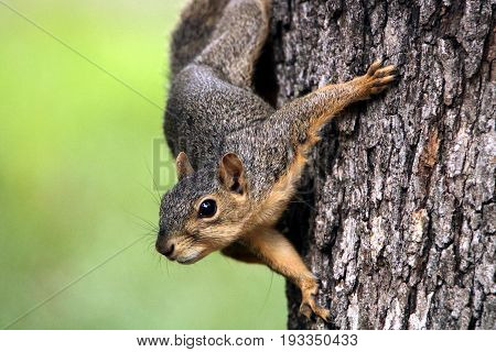 Close-up of a cute little red and gray fox squirrel hanging on a tree trunk, looking towards the camera, on a blurred green background.