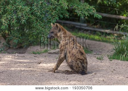 Hyena Sitting On The Ground Floor With Bushes On The Background