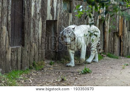 White Tiger Or Bleached Bengal Tiger Walking In Of A Wood Building
