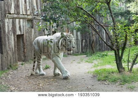 White Tiger Or Bleached Bengal Tiger Walking Among Trees With A Wood Wall On Its Background - Close