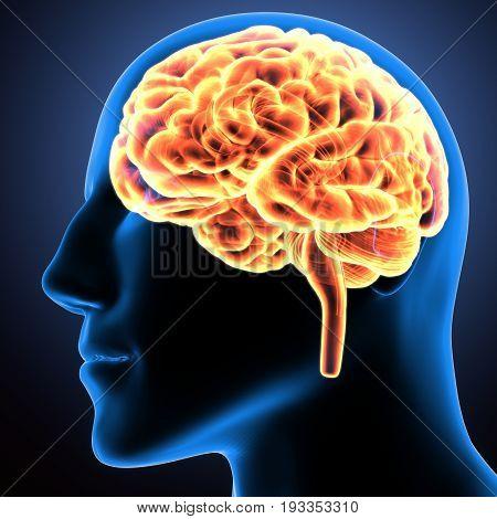 3d illustration human body brain of a human body organs