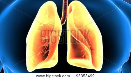 3d illustration of human body lungs anatomy