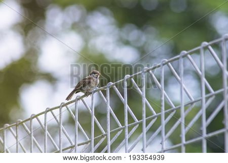 Eurasian Tree Sparrow Passer montanus Birds of Thailand