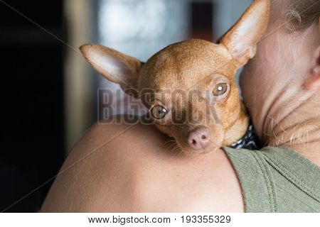 Small tired dog laying on the shoulder of its female owner
