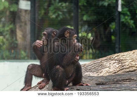 baby chimpanzee, the front one is focused.