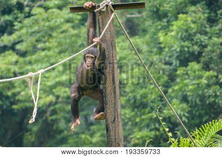 baby chimpanzee playing in a zoo at Kolkata,India.