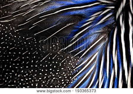Detailed texture of white and blue pheasant feathers