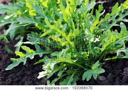 Arugula plant growing from soil in organic vegetable garden.