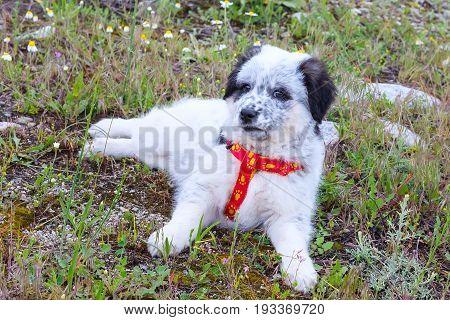 Cute white and black bulgarian shepherd dog puppy sitting in the grass closeup