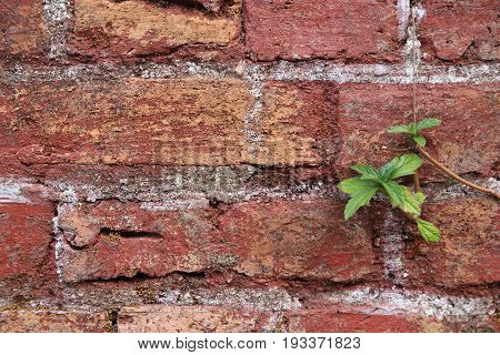 The old cracked wall of the abandoned ruins with small plant.