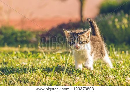 Tomcat With White And Tabby Fur Walks On Grass