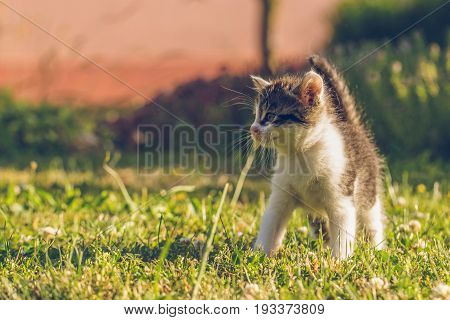 Tomcat With White And Tabby Fur Walks On Green Grass