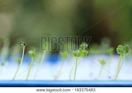Growing microgreens with seed leaf or cotyledon blurred green background.