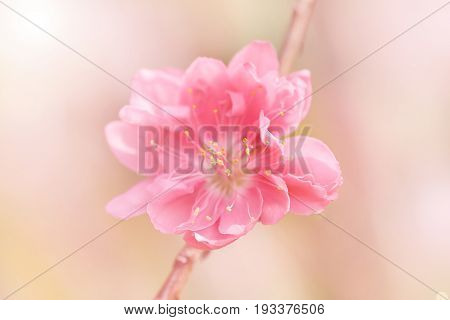 Long stamens with pollen inside plum blossom pink flower by macro lens.
