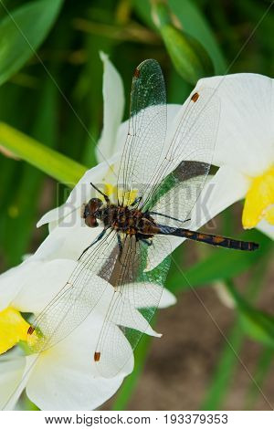 Summer landscape. Insect dragonfly sat on a white Narcissus flower on a grass background