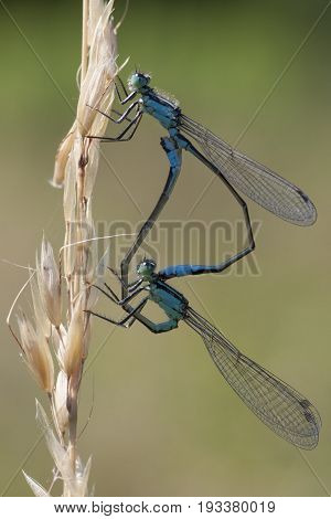 Blue-tailed Damselfly (Ischnura elegans) Mating Wheel resting on a Grass-Stalk
