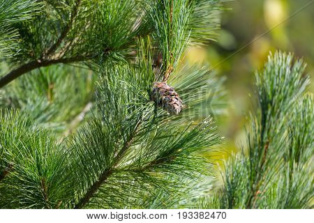 Eastern white pine cone northern white pine white pine Weymouth pine (British) soft pine, Poland, Europe