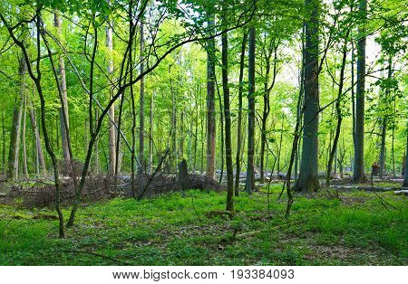 Old spruces broken lying and hornbeam trees in mixed stand in late spring, Bialowieza Forest, Poland, Europe