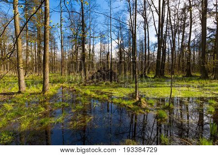 Springtime alder-bog forest in sun with standing water, Bialowieza Forest, Poland, Europe