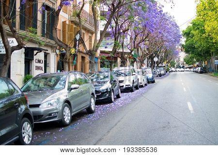 Blossoming Blue Or Purple Jacaranda Trees