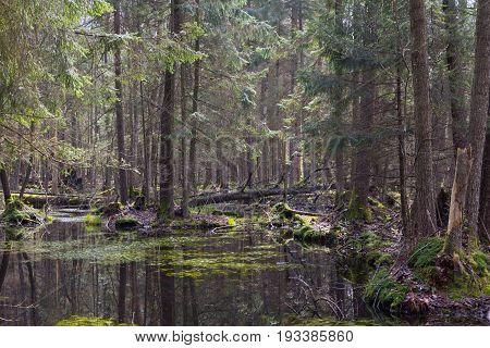 Springtime alder-bog forest with standing water, Bialowieza Forest, Poland, Europe