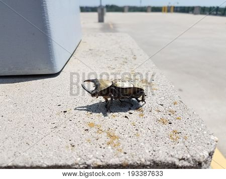 large male hercules beetle with horns and black spots on cement
