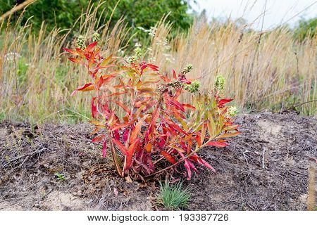Oenothera Biennis With Red Leaves