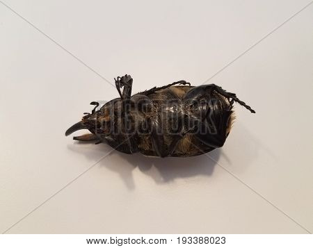 large male hercules beetle with horns on its back on a white surface
