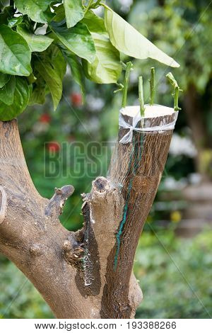 Agricultural Grafting Of Citrus Fruit Trees
