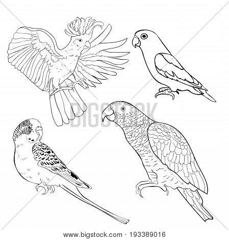coloring Jaco Lovebird wavy parrot kakadu set Vector illustration