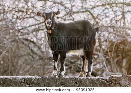Black Goat At Fence